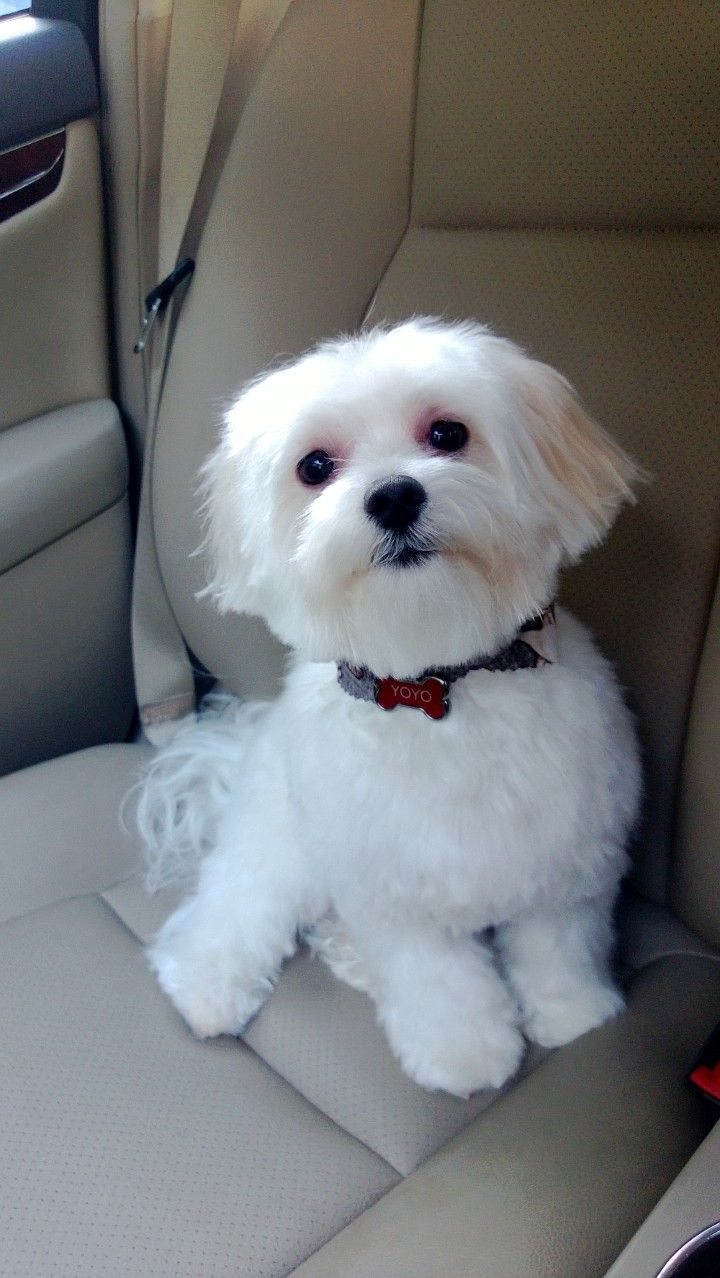 teddy puppy haircuts teddy cut maltese www pixshark images 6245