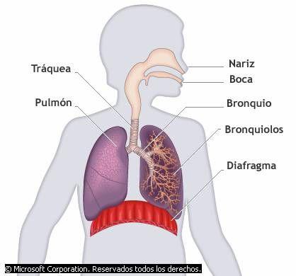 Ciencias De Joseleg 15 Sistema Respiratorio Humano Body Donald Character