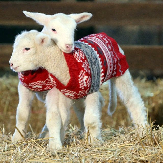 Lambies in sweaters | Sheep! | Pinterest | Sheep, Lambs and Animal
