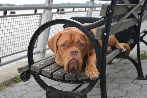 French Mastiff By Cynthia Da Silva Rocha Http Ift Tt 1cgrbeq Bordeaux Dog French Mastiff French Mastiff Dog