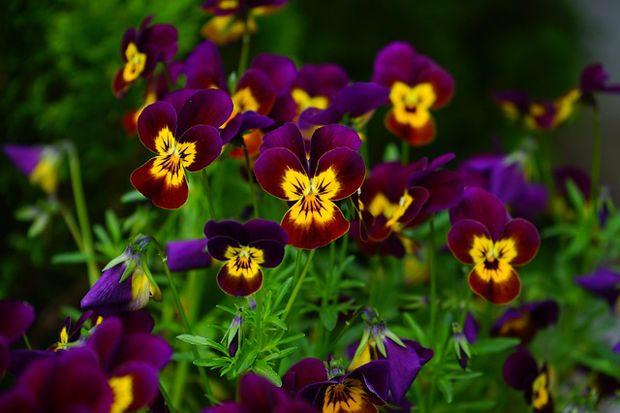 El cultivo de pensamientos en maceta plantas garden for Planta perenne en maceta de invierno