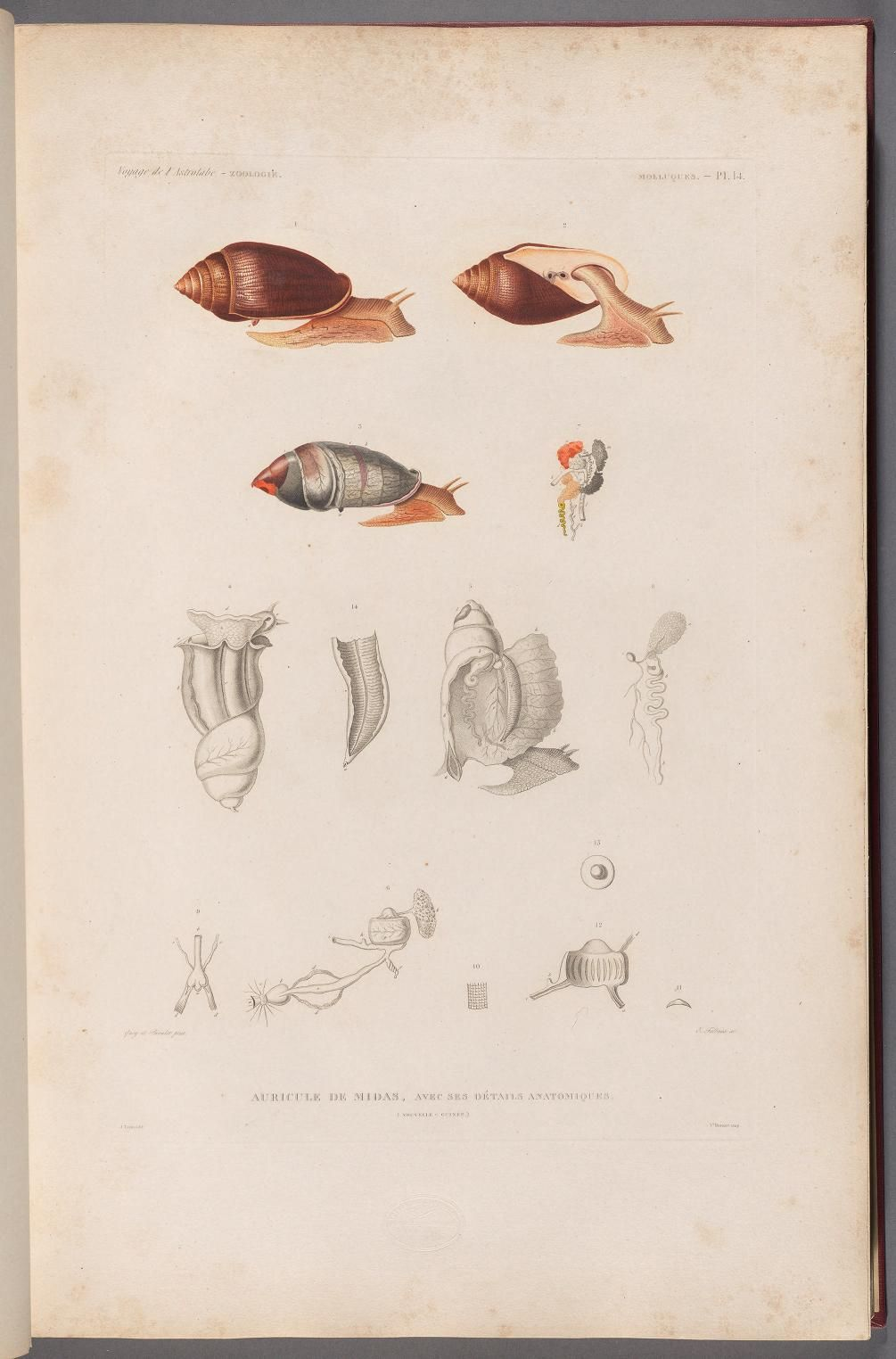 Mollusques and Zoophytes Atlas (1833) - Voyage de la corvette l'Astrolabe : - Biodiversity Heritage Library