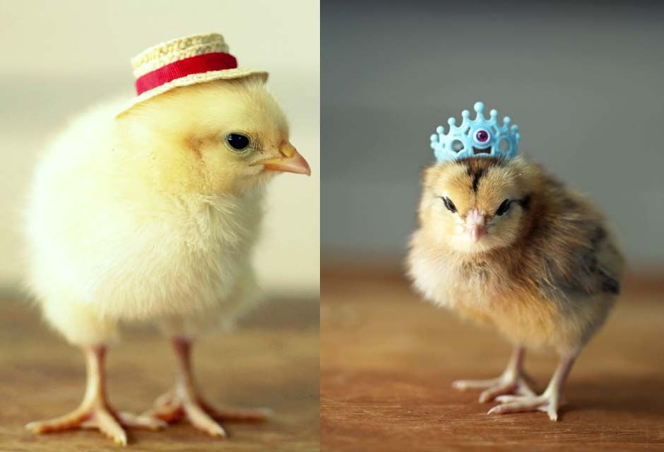baby-chickens-in-hats-2 | Beautiful Healthy Girls ...
