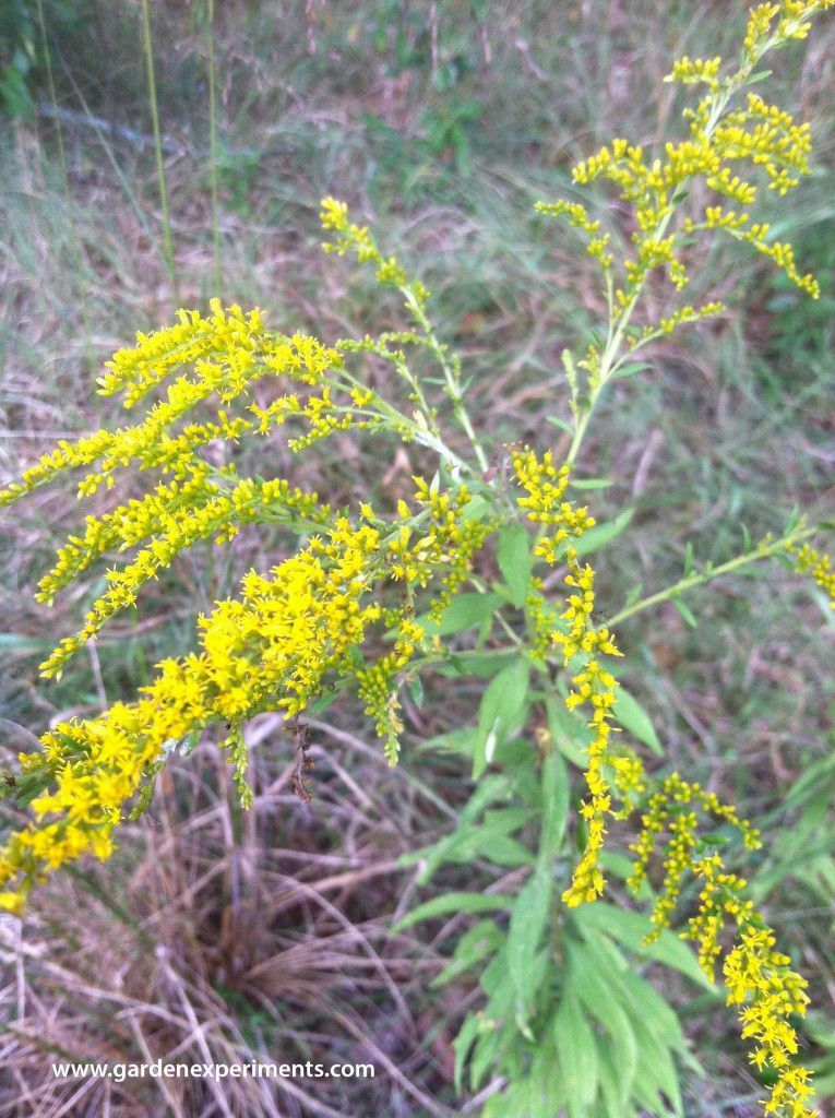 The Wildlife Benefits Of Goldenrod Solidago Sp Goldenrod Wildlife Wild Flowers