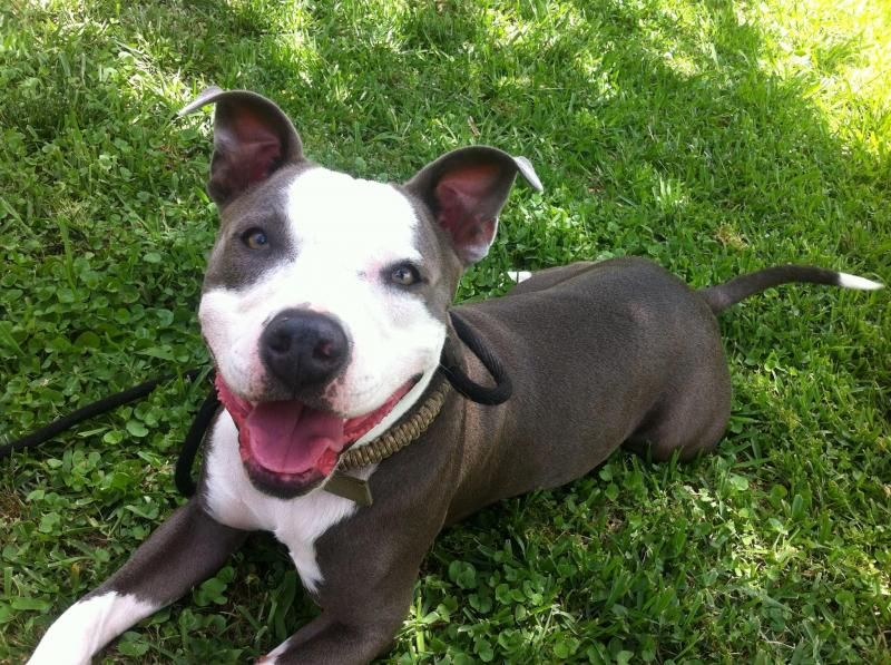 Adopt Gunny On Petfinder American Pitbull Puppies Pitbull Pictures Pitbull Terrier