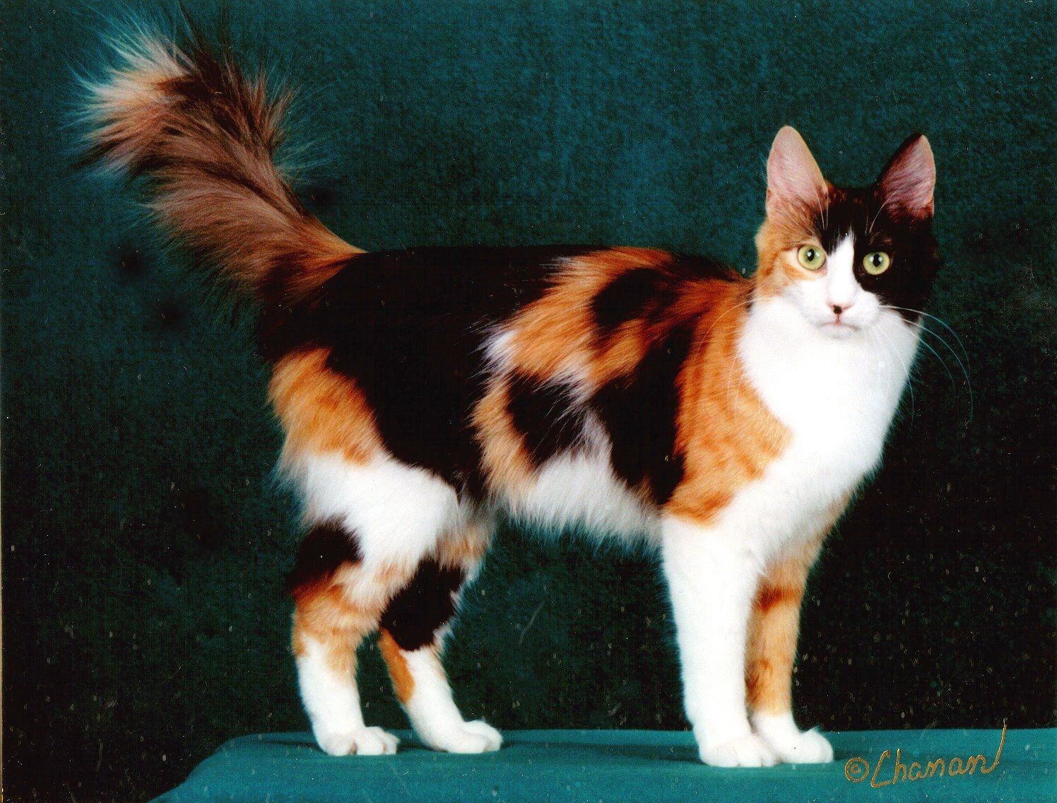 25442b52fa Image result for turkish van calico Exotic Cat Breeds