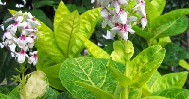 Fantastis 30 Bunga Melati Bahasa Jepang Mengenal Jenis Bunga Melati Jepang Dan Cara Download Satu Harapan Kacapiring Si Canti Di 2020 Bunga Tanaman Tanaman Rambat