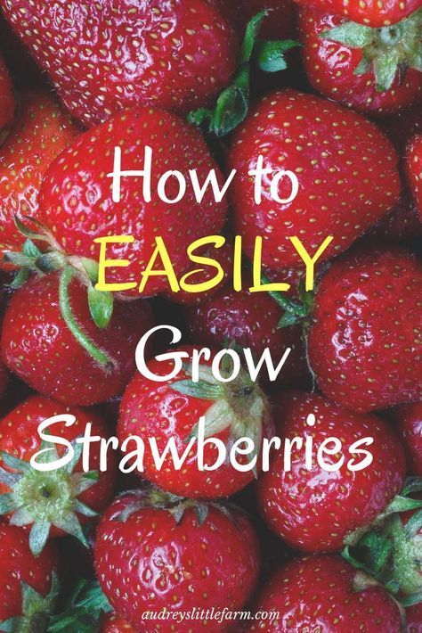 How to Plant Strawberries - Audrey's Little Farm - Every Step for Success - Modern Design