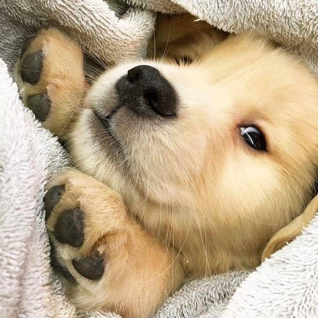 "Photo of Golden Retriever on Instagram: ""😍😍😍 @doggywitdahoodie —————– #goldens #goldenretriever #goldenretrievers_ #Golden #Retriever #goldenretrieversworld…"""
