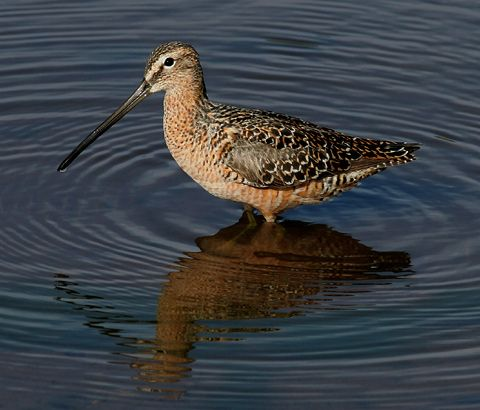 34. Long-billed Dowitcher (Limnodromus scolopaceus)