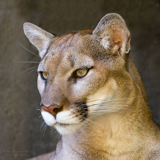 puma cougar difference