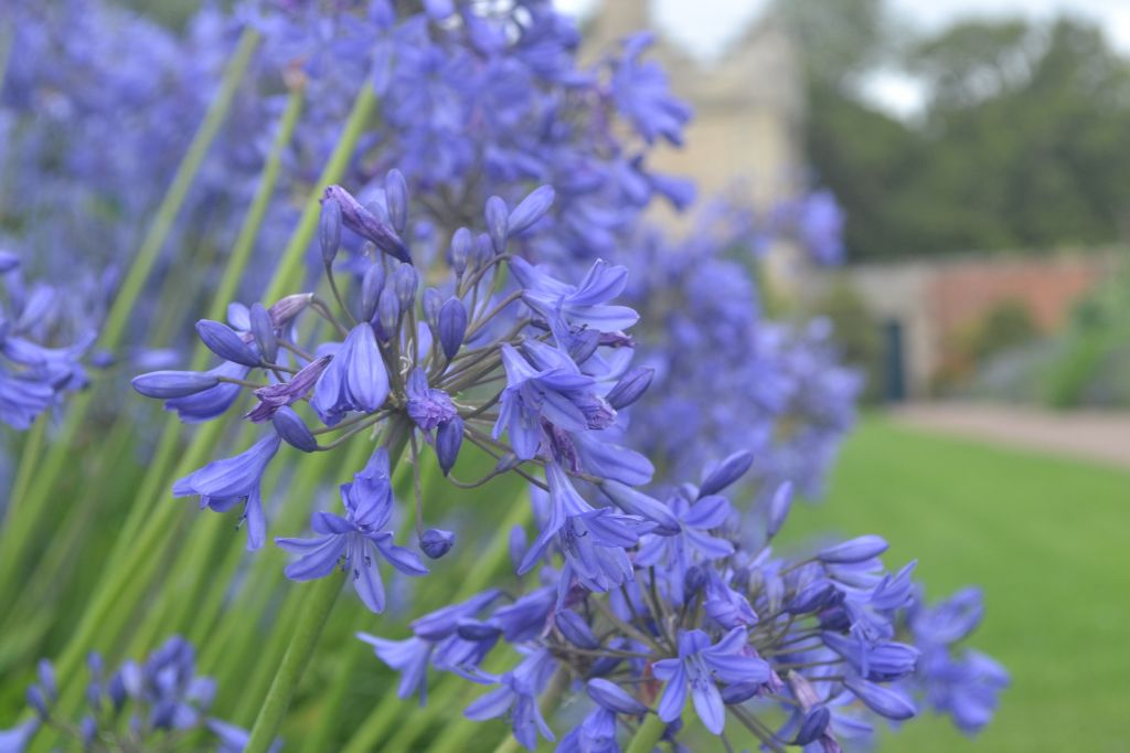 A blue haze of Agapanthus