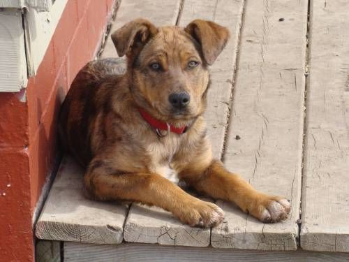 1 Year Old Female Border Collie Catahoula Cross For Sale For