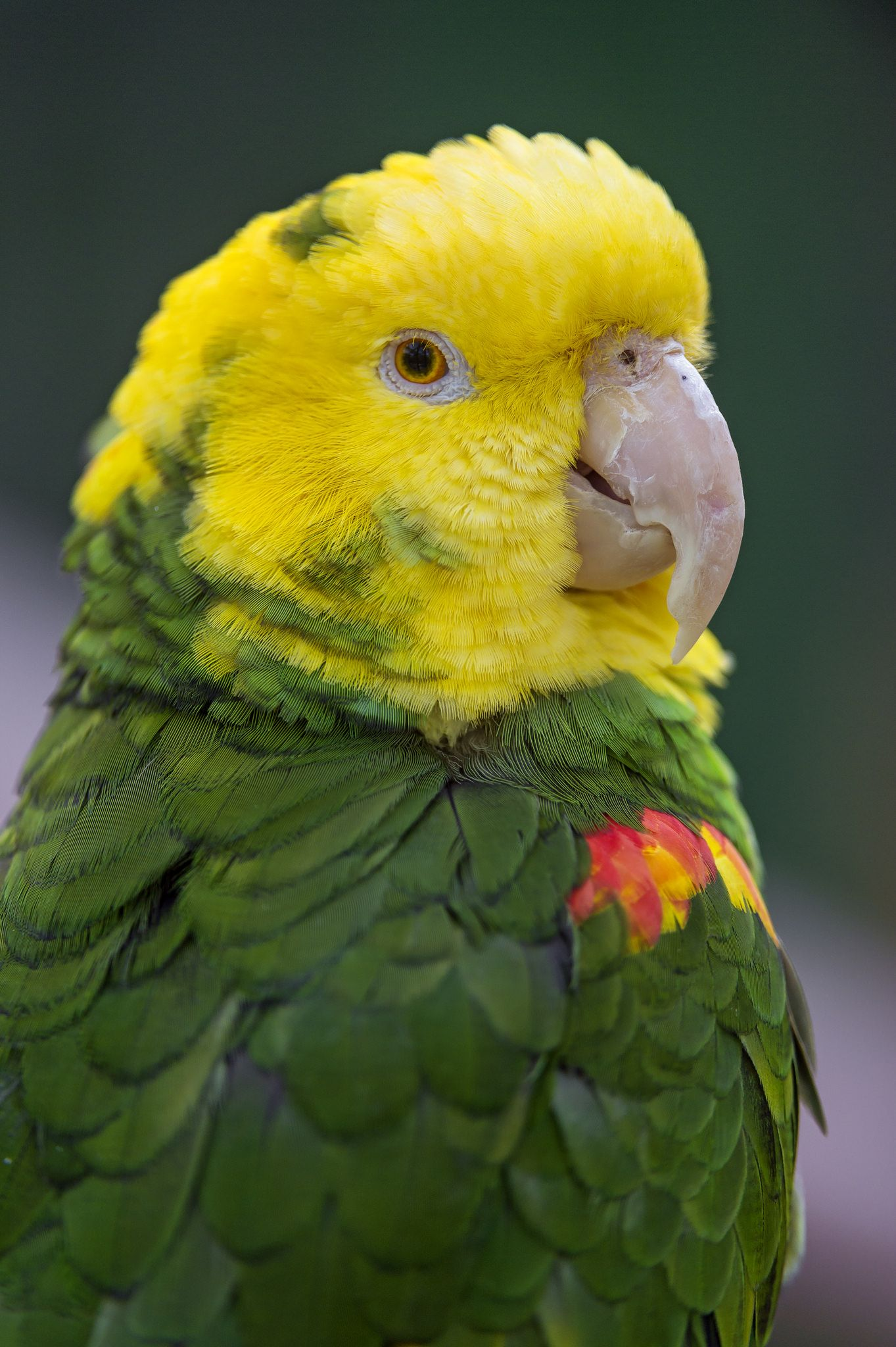 small yellow and green parrot parrots pinterest bird