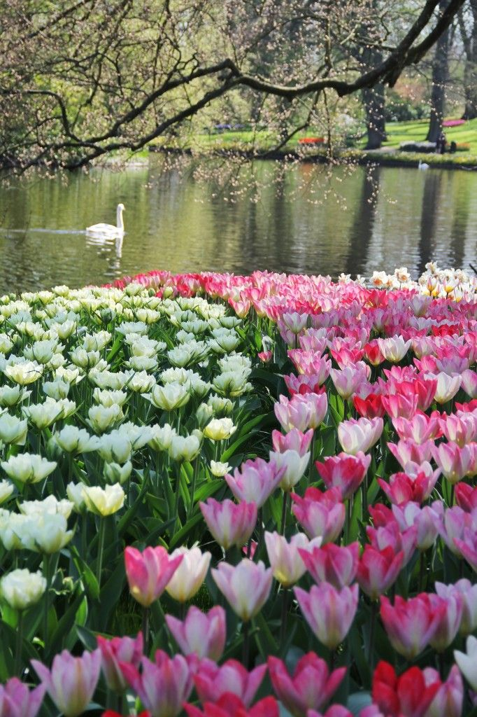 Beauty in keukenhof gardens 2013 season places i have for What season are tulips