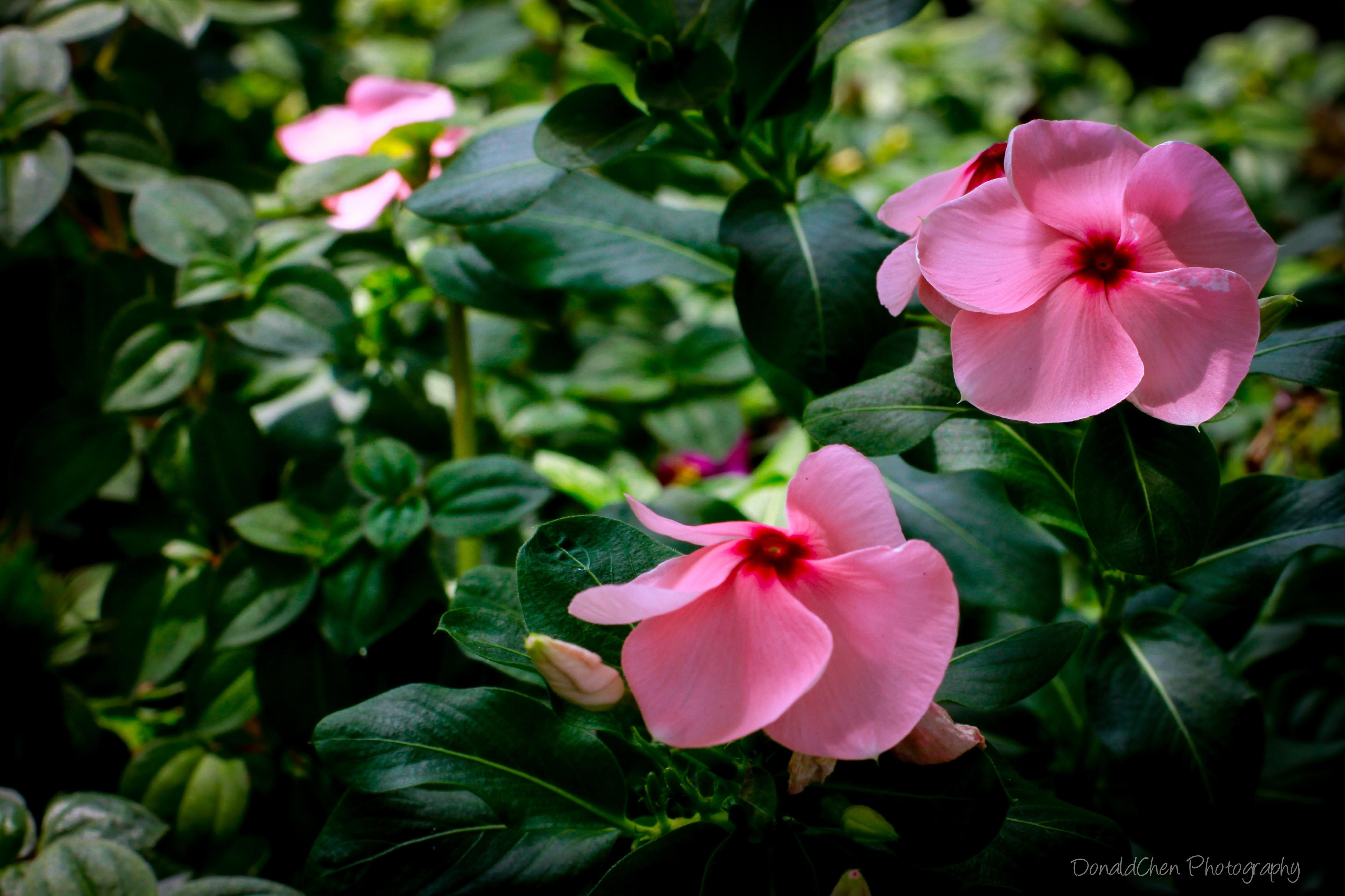 Vinca Rosea Has A Glossy Deep Green Oval Leaf And Blooms With Long