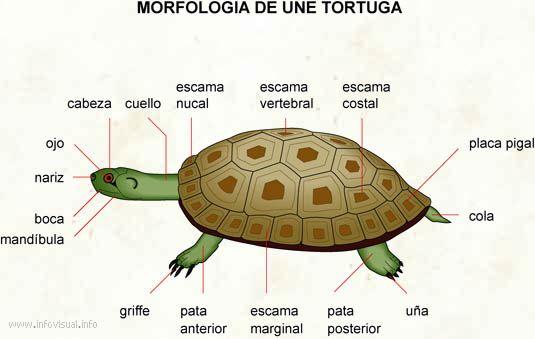 Image result for anatomia externa de la tortuga terrestre | Animales ...