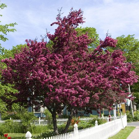 Profusion Crabapple Tree Crabapple Tree Flowering Trees Fast Growing Trees