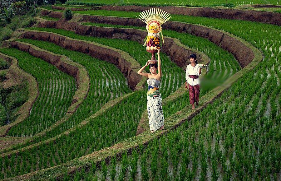 Pemandangan Sawah Di Bali Meski Berada Di Area Sawah Namun Di Sini Banyak Kafe Dan Resort Yang Menyediakan Jamuan Lezat Dan Penginapan Di 2020 Pemandangan Bali Ubud