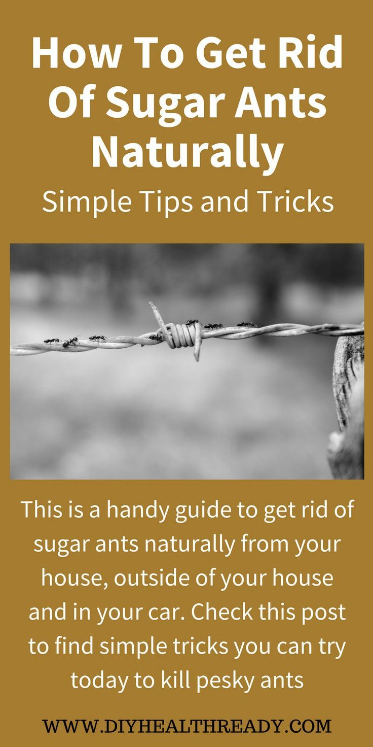 How To Get Rid Of Sugar Ants Naturally Simple Tips and