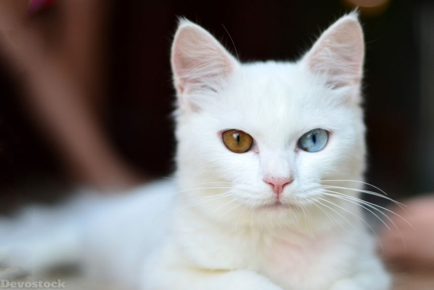 Devostock Animal Rare White Cat Kitten Eyes Different Color Blue Green 4k Cute Animals Kitten Eyes Cat Care