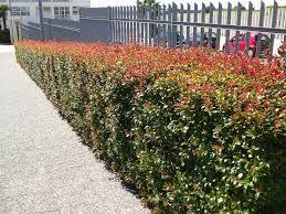 Eugenia newport garden sebes pinterest for Pianta eugenia