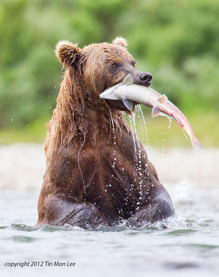 Bear With Salmon By Tin Man Grizzly Bear Habitat Bear Bear Fishing