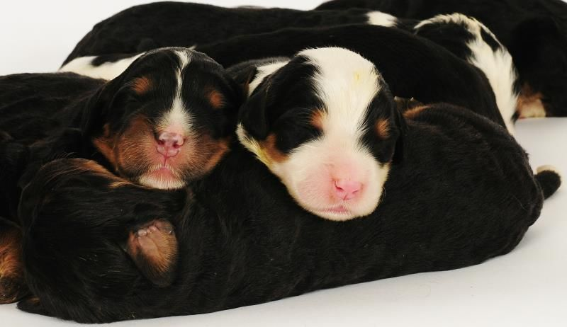Bernedoodle Newborn Pups From Swissridge Kennels Bernese