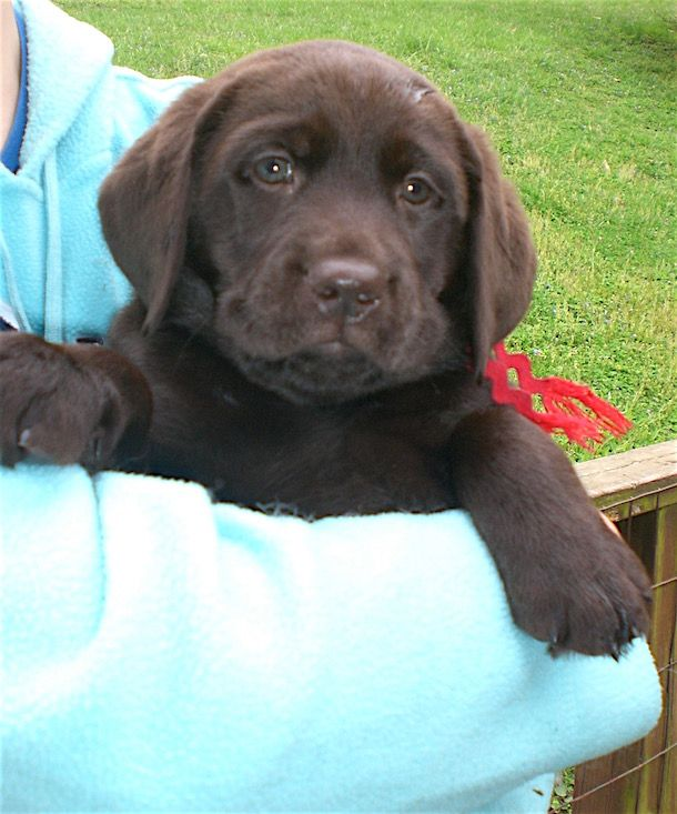 21 Adorable Chocolate Labrador Puppy Photos With Images