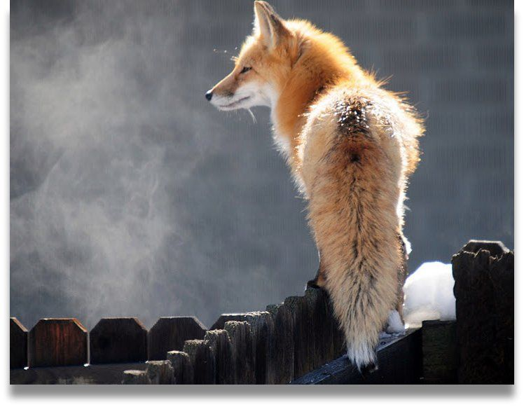 Red Fox by pixel~photographies