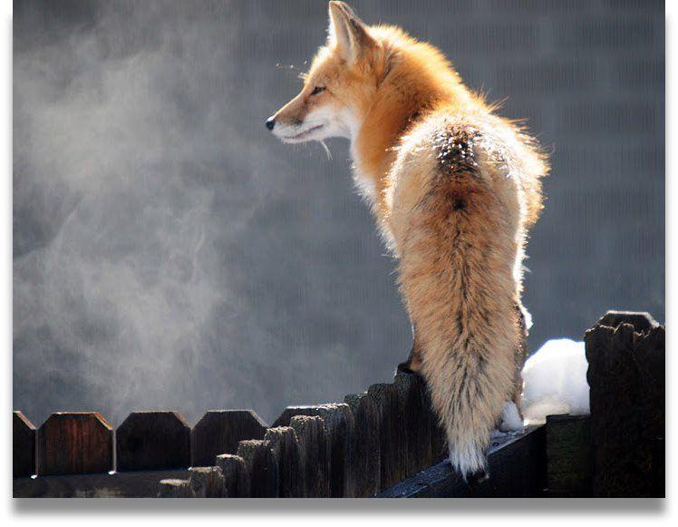fox in the snow | Animals | Wild animals photography, Wild