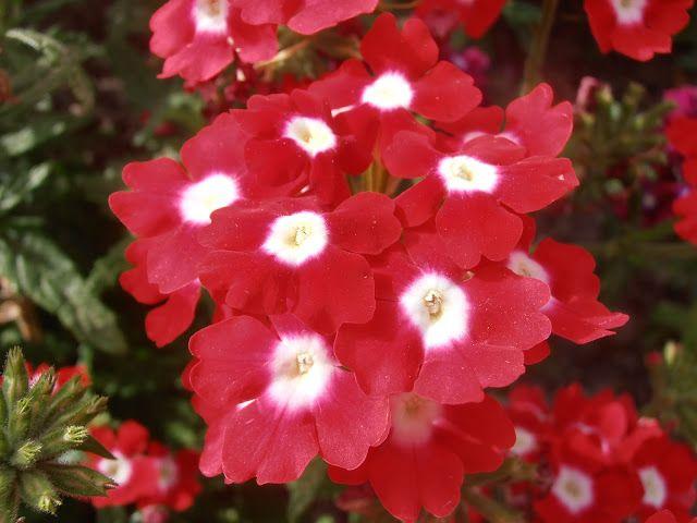 verbena: verbena hybrida | plantas con flores rojas | pinterest