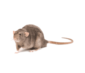 Download Mouse Photo Png Images Background Png Free Png Images In 2021 Mouse Photos Photo Png Images