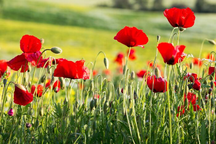 Poppies flower meaning image collections flower decoration ideas poppy flower me pinterest explore poppy flower meaning flower meanings and more mightylinksfo image collections mightylinksfo Image collections