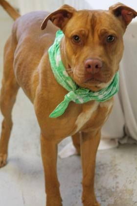 ADOPTED>NAME: Knight  ANIMAL ID: 30801981  BREED: terrier mix  SEX: male (neutered)  EST. AGE: 1 yr  Est Weight: 38 lbs  Health: heartworm neg  Temperament: dog friendly, people friendly  ADDITIONAL INFO: RESCUE PULL FEE: $35  Intake date: 3/1  Available: Now
