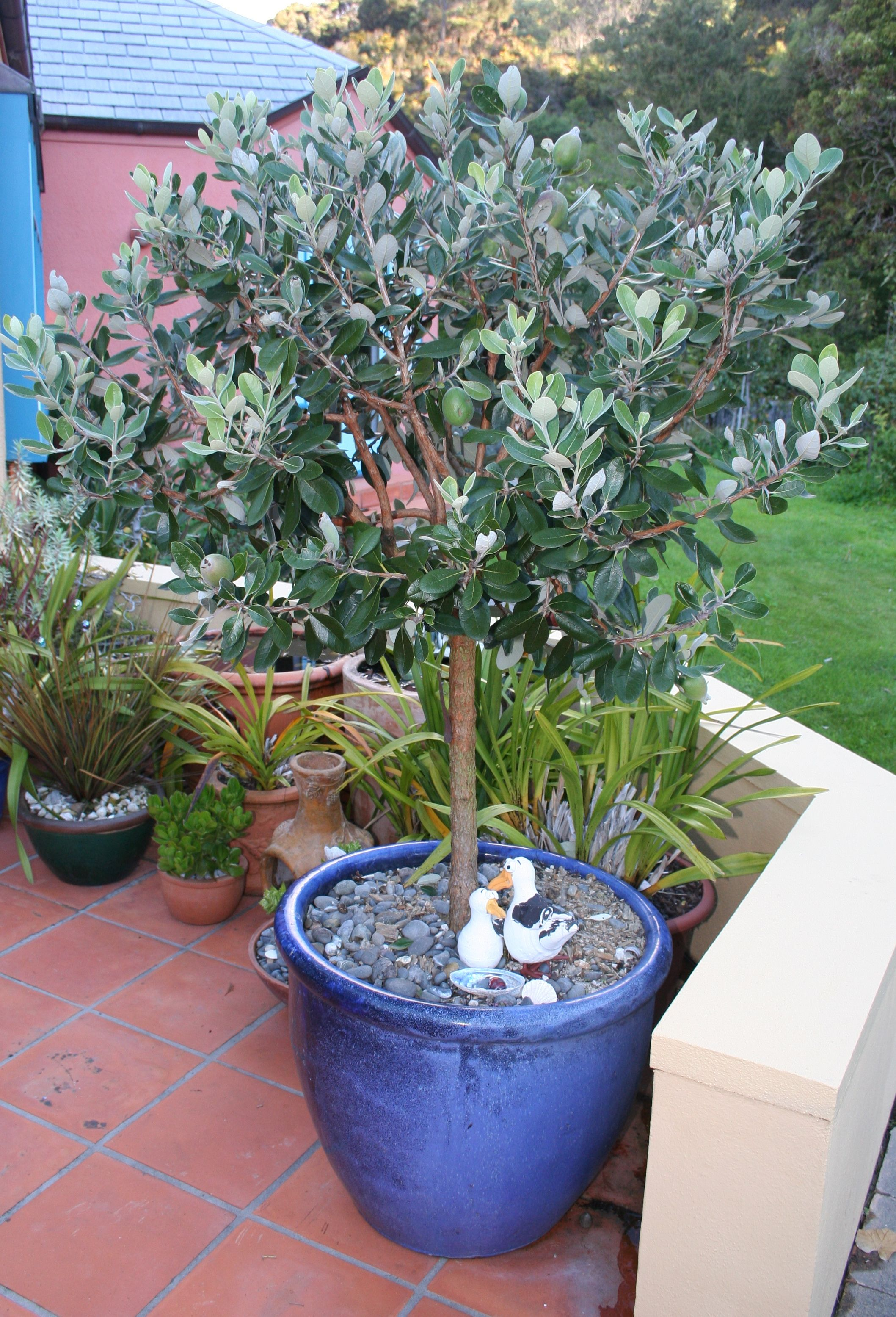 Feijoa in a pot | NEST | Pineapple guava tree, Guava plant