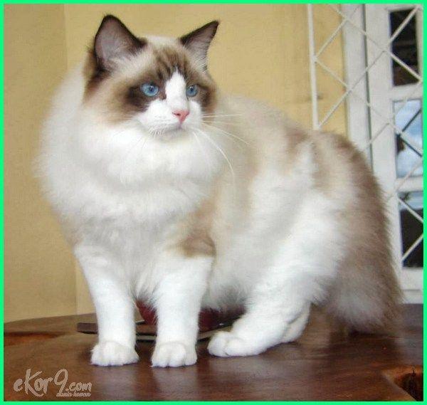 Download 95+ Gambar Kucing Ragdoll Paling Bagus Gratis