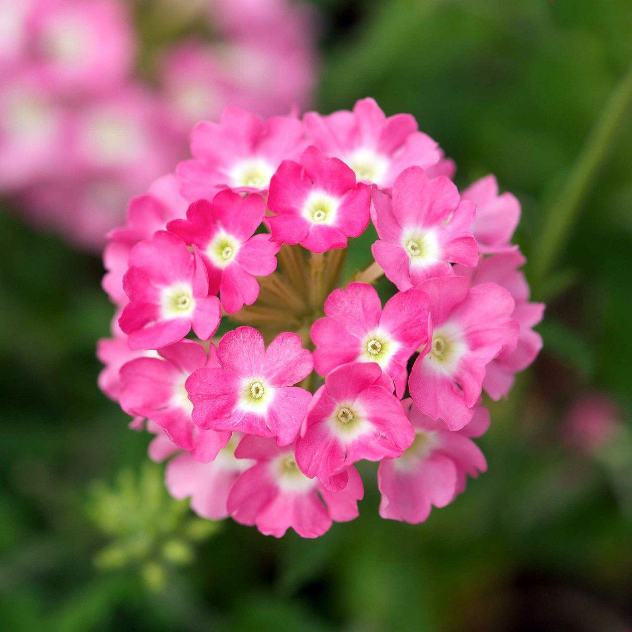 Verbena Aztec Pink Vxter Pinterest Flowers Types Of