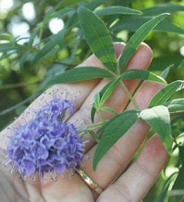 Vitex… Fertility Super Herb? | Natural Health and Beauty | Natural
