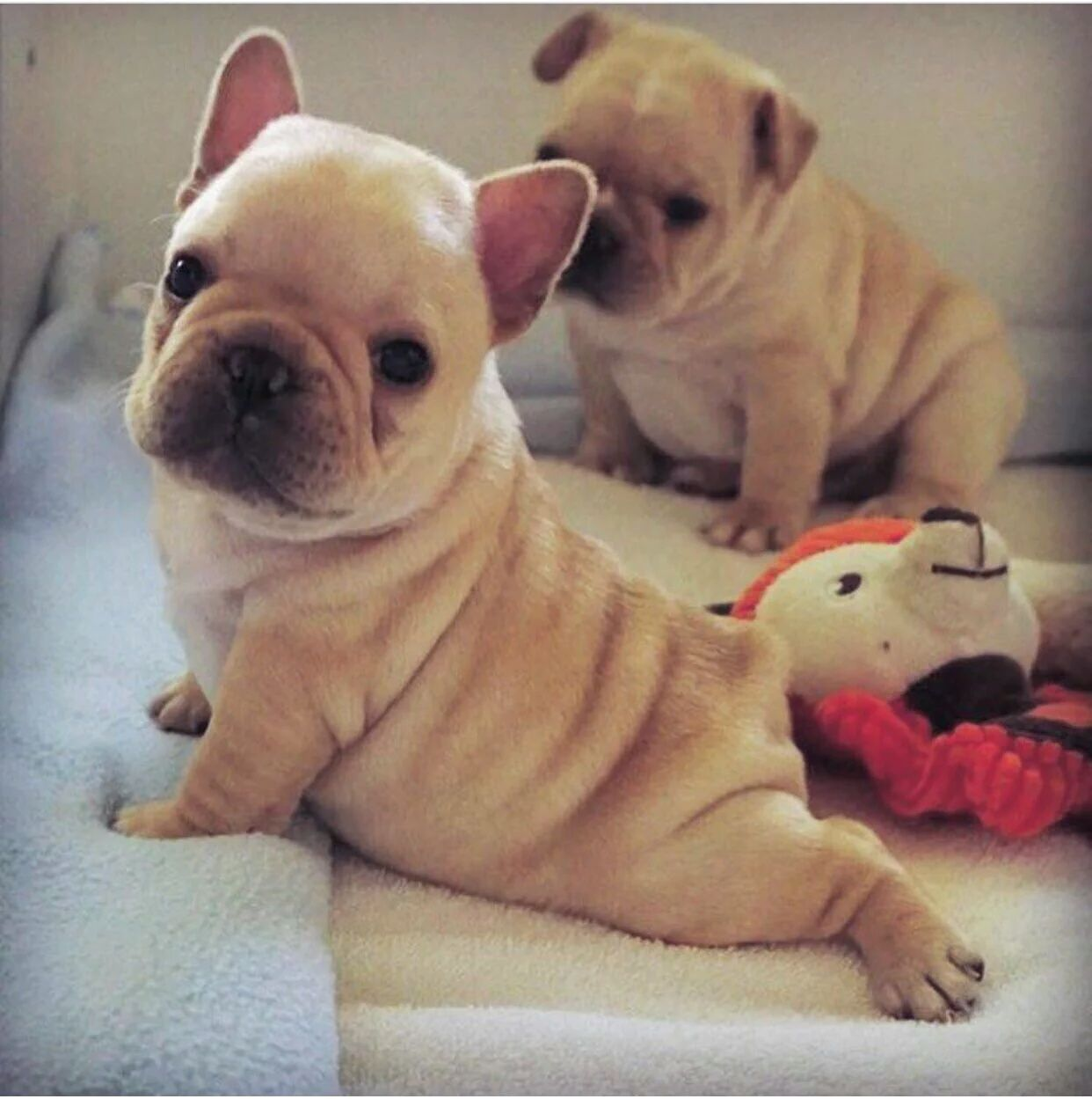 Paint Me Like One Of Your French Dogs French Bulldog Puppies