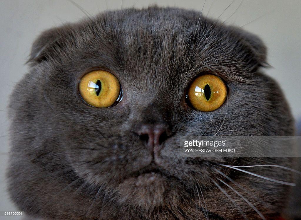 Hidden Ears Cat scottish fold, Scottish fold, Cat nutrition
