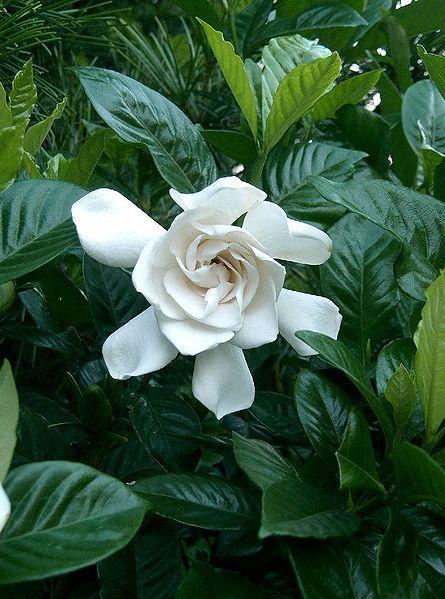 White flowers on Gardenia Plant