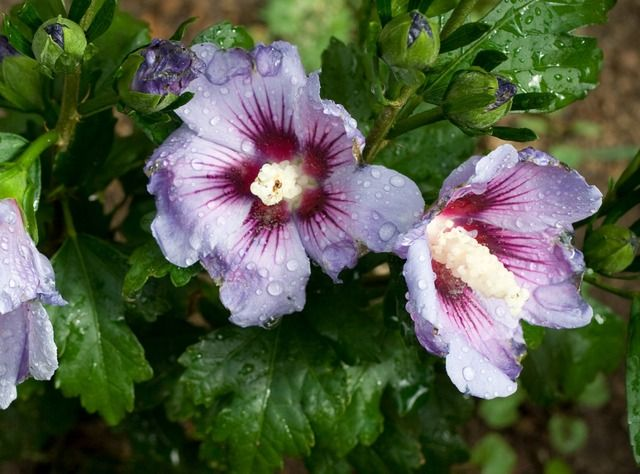 d couvrez l 39 hibiscus syriacus ou alth a un arbuste la floraison g n reuse en t facile de. Black Bedroom Furniture Sets. Home Design Ideas