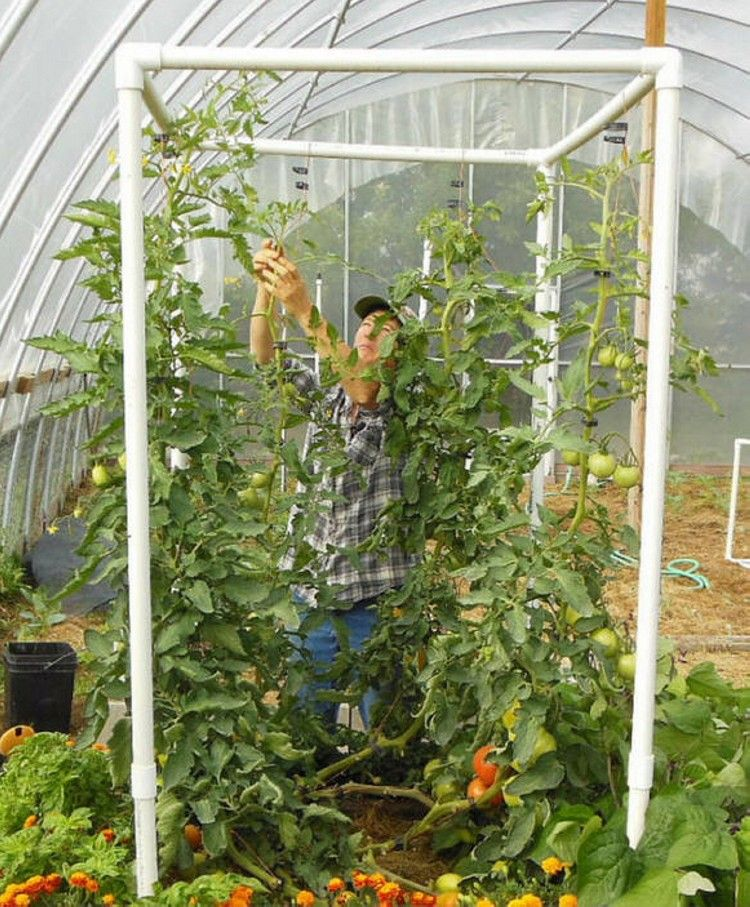 Vertical Tomato Gardening: Trellises Constructed From PVC Pipes