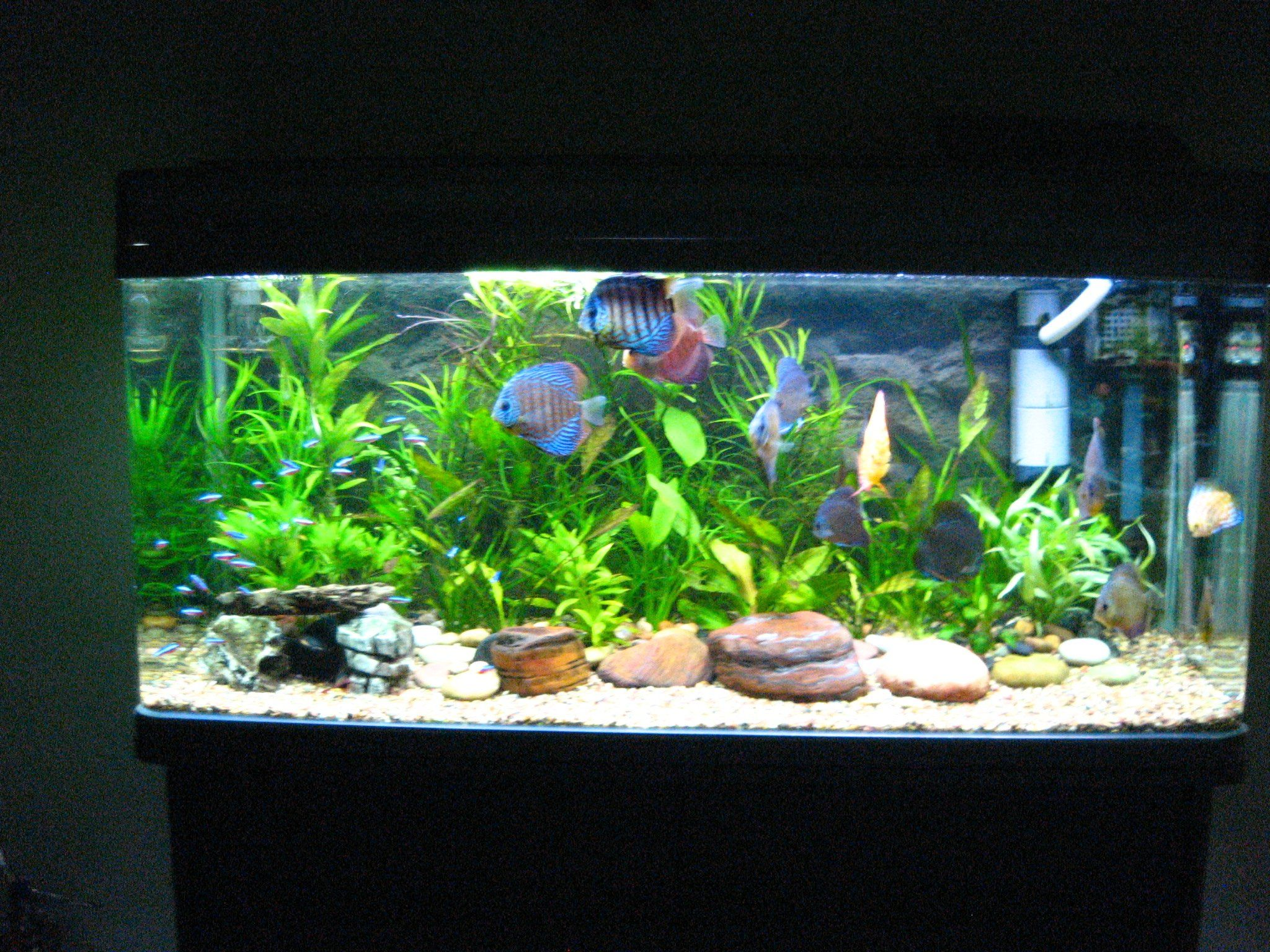 Traquil discuss and neon tetra tank docile fish w for Aquarium decoration idea