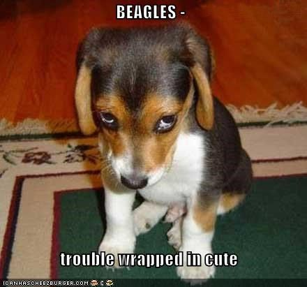 BEAGLES | Funny puppy pictures, Guilty dog, Puppies funny