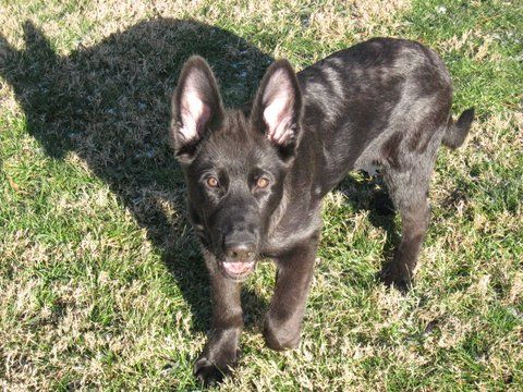 Jake Is A Black German Shepherd Puppy At Just 4 Months Old