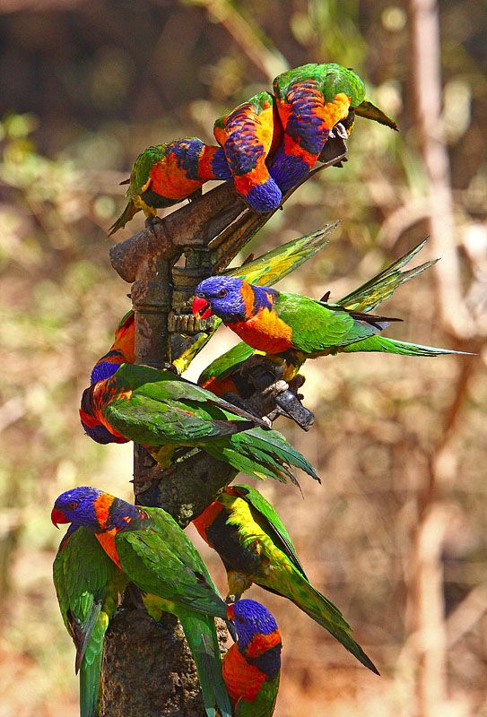 Red-Collared Lorikeets