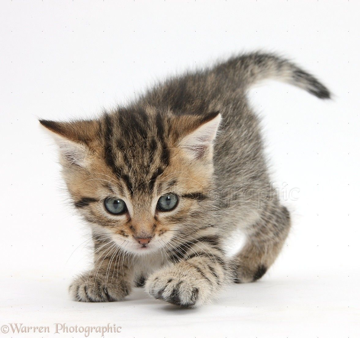 Silver Tabby British Shorthair Kitten Photo Cute Cats And Kittens American Shorthair Cat Kittens Cutest