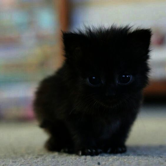Minskin Kittens For Sale Near Me, Abyssinian Kittens For